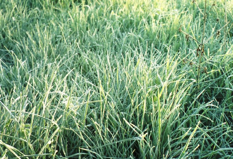 Frostedgrass